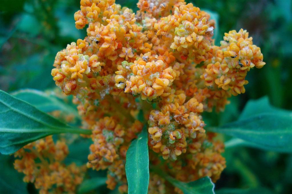 What are Ancient Grains-Quinoa