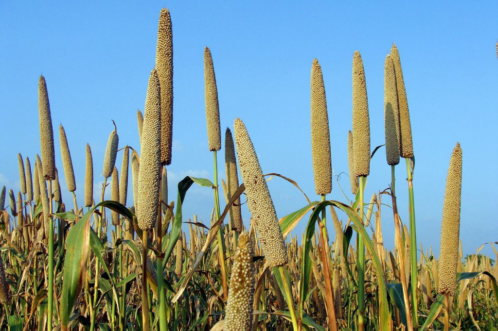 What are Ancient Grains-Millet