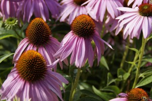 Beat a Cold or Flu Fast-Echinacea