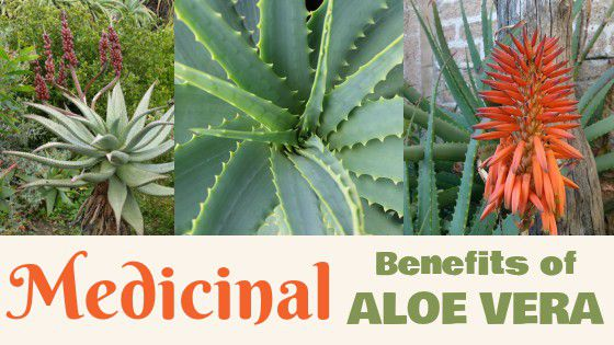 Medicinal Benefits of Aloe Vera, an Ancient Treasure