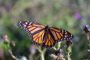 GMO Labeling Laws and What it Means for Your Food-Monarch Butterfly