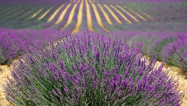 How to diffuse Essential Oils-Lavender